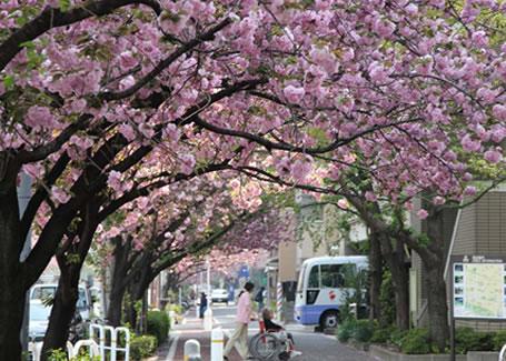 成排的樱花新道的樱花树