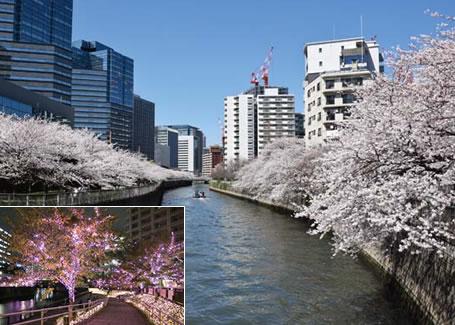 目黑河的樱花